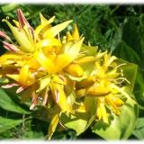 fleur gentiane jaune association gentiana lutea