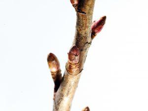 branche bourgeon 3